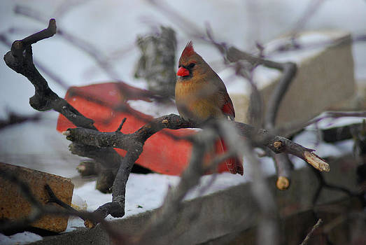Cardinal Out on a Limb by Wanda Jesfield