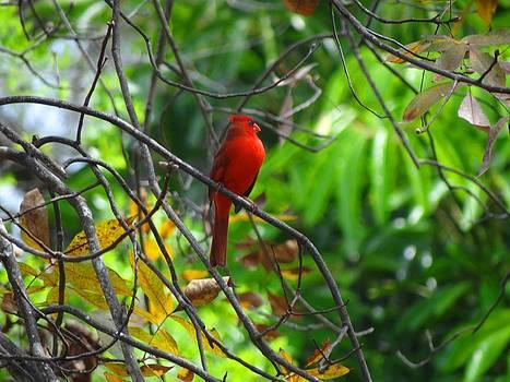 Cardinal by Fineartist Ellen
