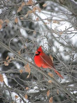 Peggy  McDonald - Cardinal