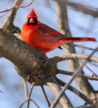 Cardinal Up Close by James Canning
