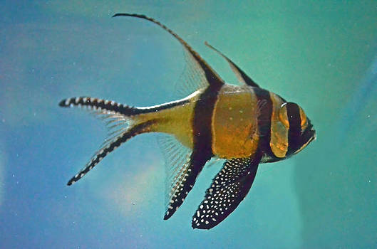 Cardinalfish by Sandi OReilly