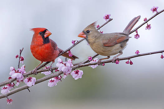 Cardinals in Plum Blossoms by Bonnie Barry