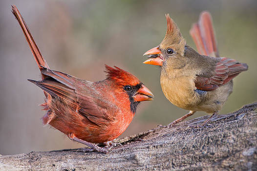 Cardinals on a Windy Day by Bonnie Barry
