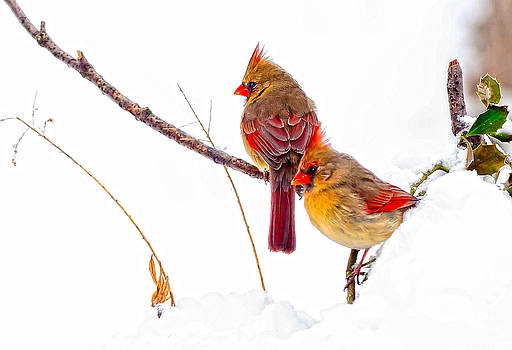 Randall Branham - Cardinals on Snowy Holly Branch