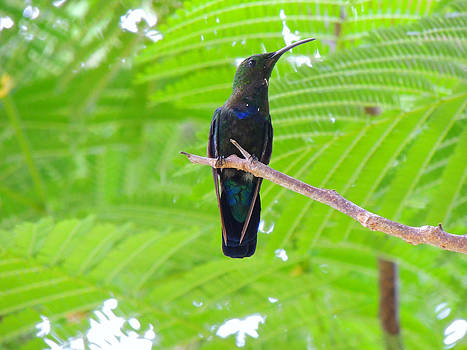 Kimberly Perry - Caribbean Hummingbird