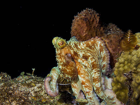 Matt Swinden - Caribbean Reef Octopus