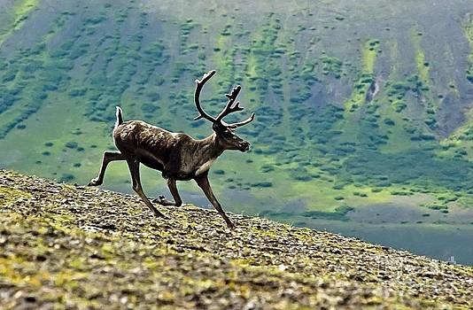 Caribou in Alaska  by Larry Stolle
