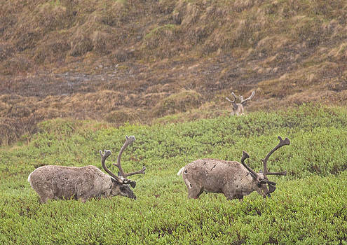 Caribou in the Rain by Brian Magnier