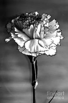 Pravine Chester - Carnation
