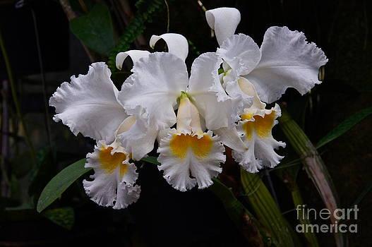 Byron Varvarigos - Carol Ackerson Orchid