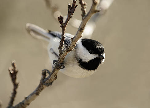 Lara Ellis - Carolina Chickadees
