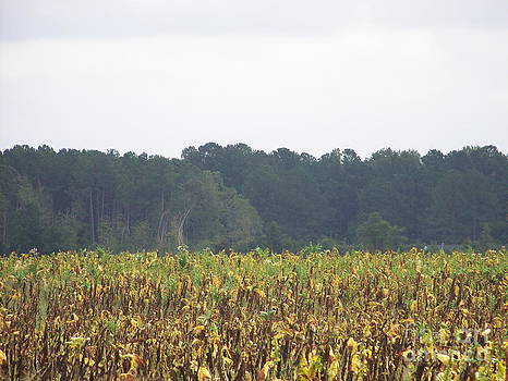 Carolina Tobacco Field by Kevin Croitz