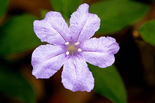 Carolina Wild Petunia by April Wietrecki Green