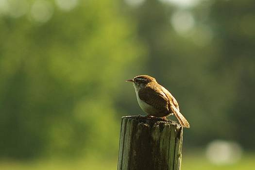 Billy  Griffis Jr - Carolina Wren