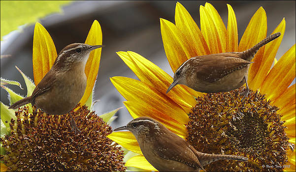 Carolina Wrens by Terry Jacumin