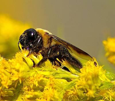 Carpenter Bee by Sean Murray
