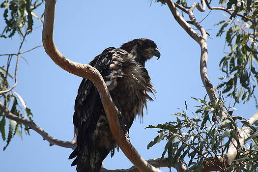 Casitas Eagles Eight by Diana Hatcher