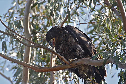 Casitas Eagles Five by Diana Hatcher