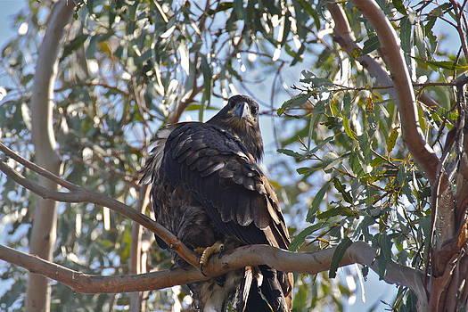 Casitas Eagles Four by Diana Hatcher