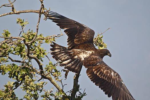 Casitas Eagles Fourteen by Diana Hatcher