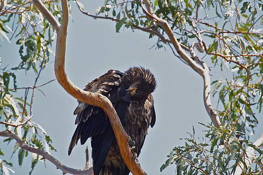 Casitas Eagles Seven by Diana Hatcher