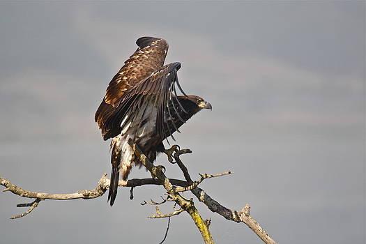 Casitas Eagles Twelve by Diana Hatcher