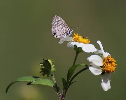 Erin Tucker - Cassius Blue Butterfly 2