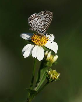 Erin Tucker - Cassius Blue Butterfly