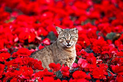 Cat in Red by Tomasz Dziubinski