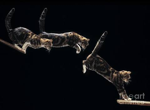 Stephen Dalton - Cat Leaping Sequence