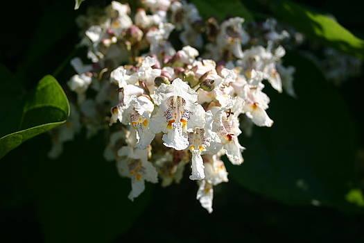 Nina Fosdick - Catalpa Tree Blossoms