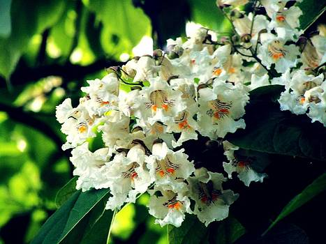 Catalpa Tree Flowers 2 by Mark Malitz