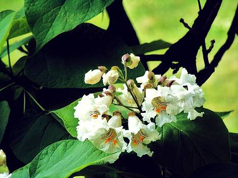 Catalpa Tree Flowers by Mark Malitz