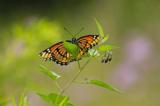 Catch me a Butterfly  by Danielle Allard