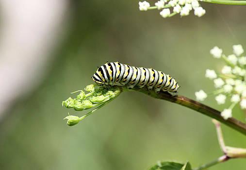 Suzie Banks - Caterpillar having Lunch