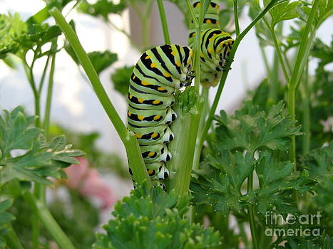 Caterpillars Clinging to Parsley by Light Rapture