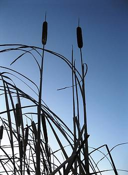 Cattails 5 by Will Boutin Photos