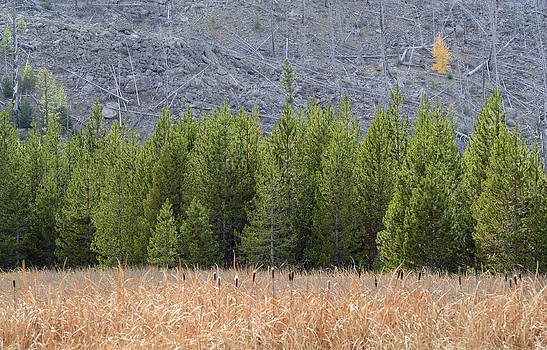 Cattails and Lodgepoles and a Lone Aspen by Bruce Gourley