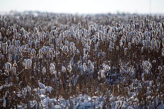 Cattails in Snow by Gerald Murray Photography