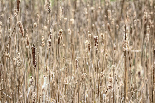 Mother Nature - Cattails In The Wind