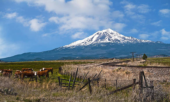 Cattle at Mt Shasta by John Hix