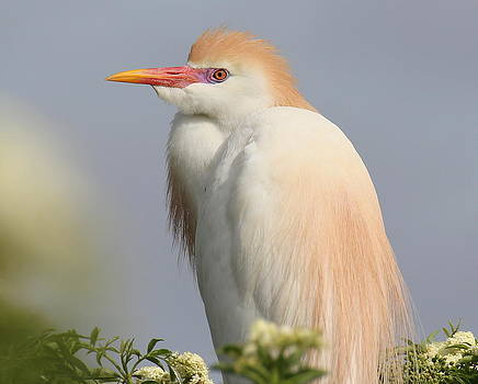 Cattle Egret by Erin Tucker