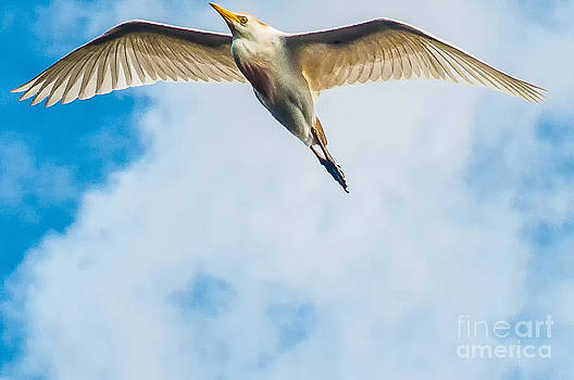 Cattle Egret In Breeding Plumage by Shawn Lyte