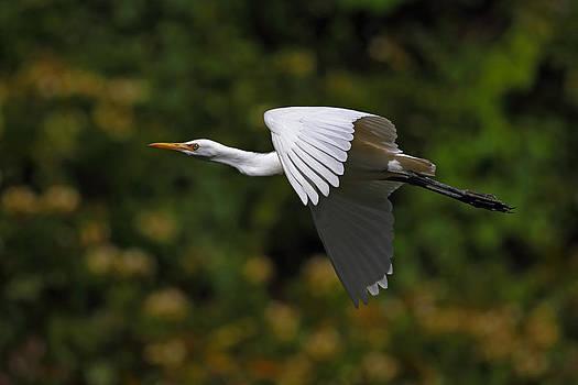 Cattle egret in flight by Alex Sukonkin