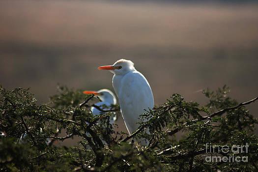 Cattle Egret by Jasper Van Vessem