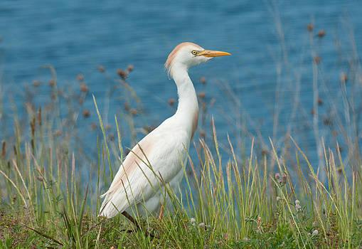 Lara Ellis - Cattle Egret