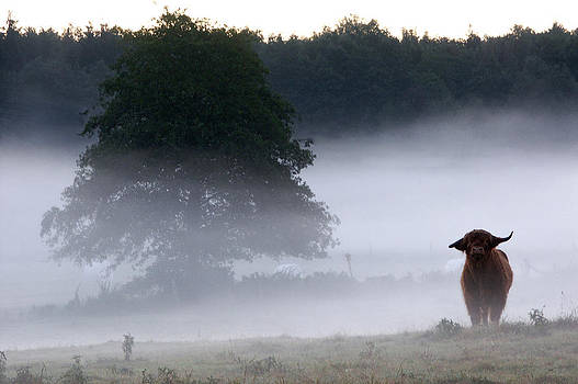 Jay Evers - Cattle in Morning Mist