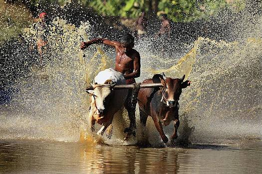Cattle Race In Kerala South India by Pradeep Subramanian