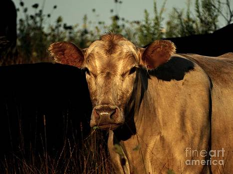 Cattle stare by Scott B Bennett