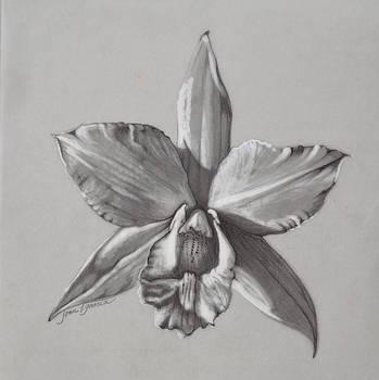 Cattleya II - Iwanagara by Joan Garcia